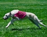 nuala-coursing at 2 years old